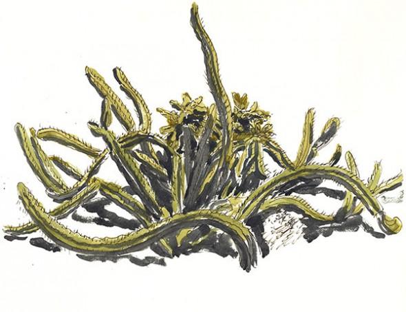 Sour Pitaya Cactus, Baja CA, Mexico